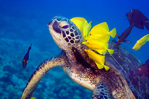 Turtle with fish cleaning its neck